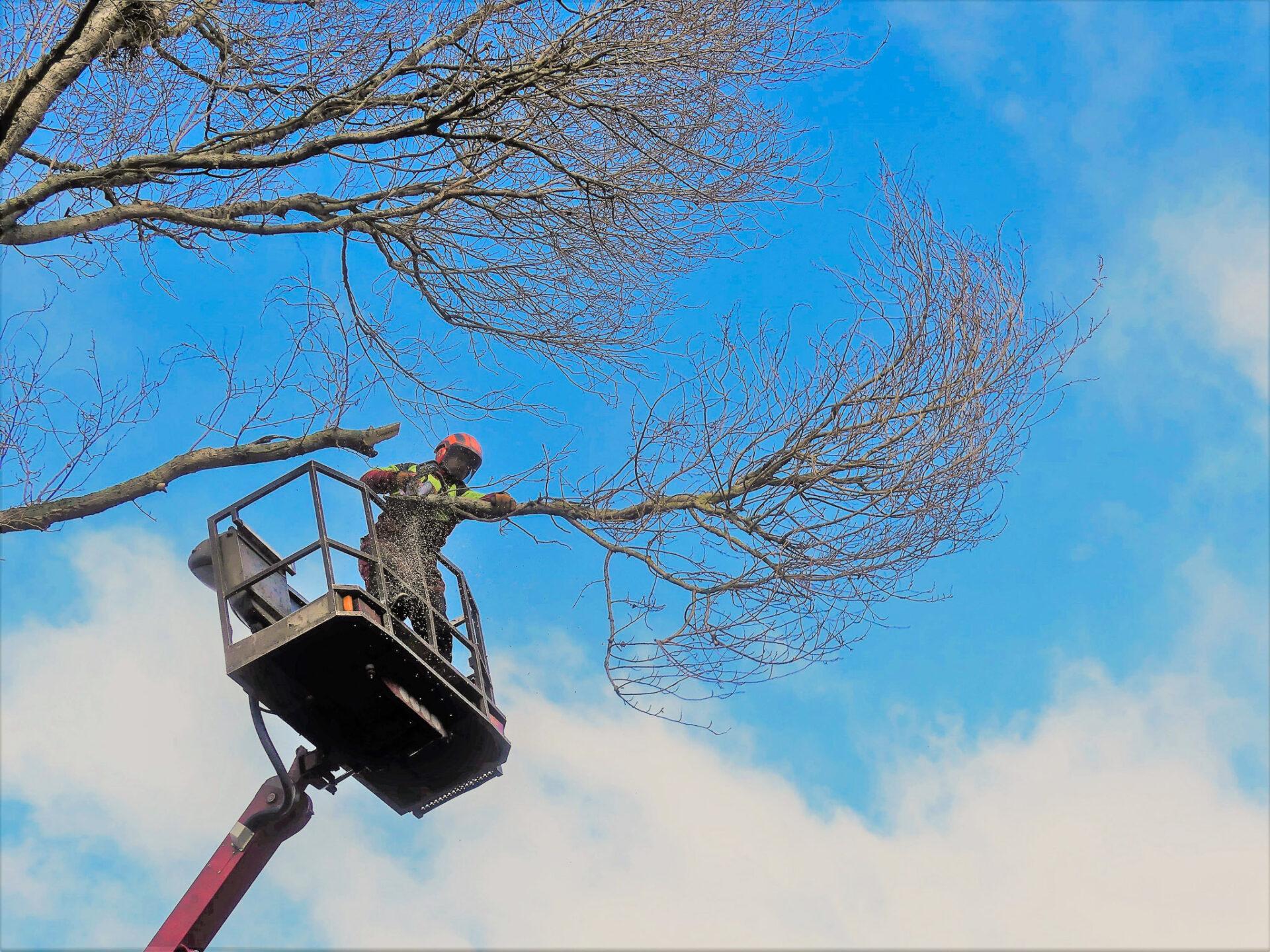 Biber-Baumdienst – Baumfällung