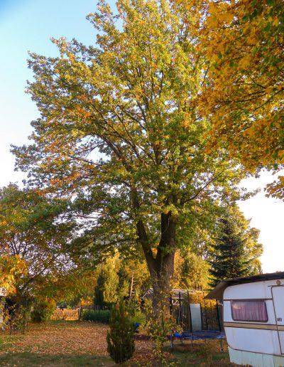 Biber-Baumdienst – Eiche Herbst