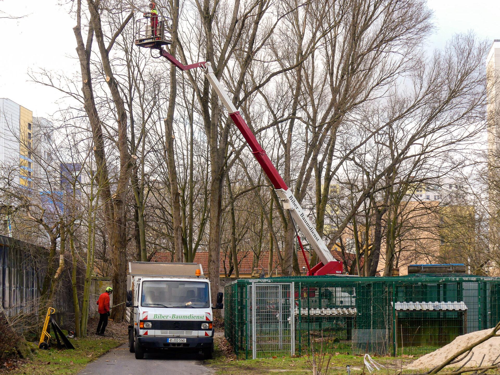 Biber-Baumdienst – im Einsatz