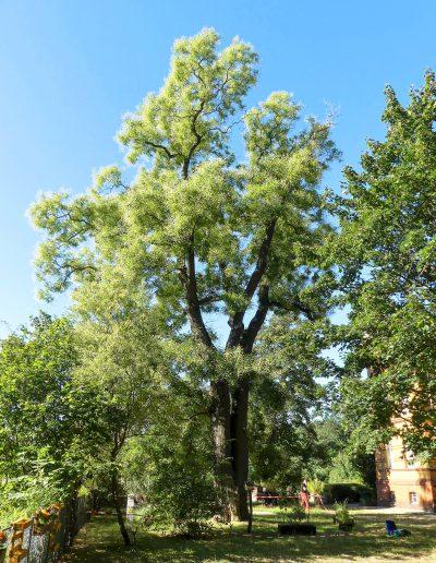 Biber-Baumdienst – Schnurbaum